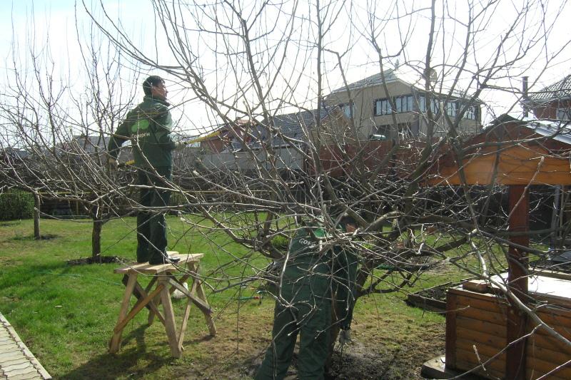 Как обрезать cтарую яблоню: схема - Plodovie ru