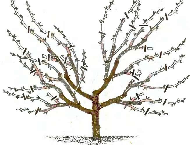 Обрезка вишни осенью схема.
