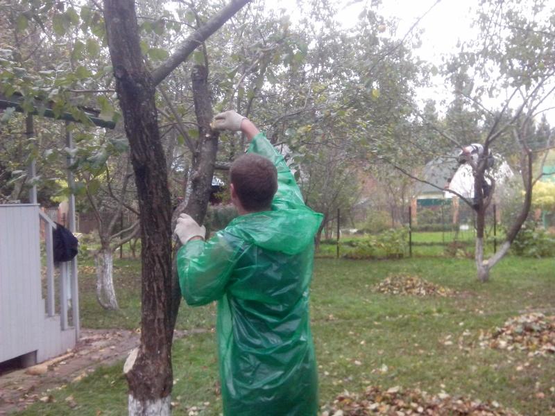 Обрезка деревьев яблони